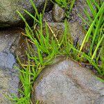 Lilaeopsis occidentalis