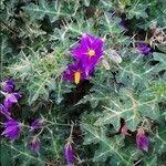Solanum virginianum