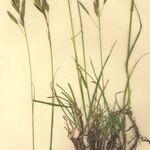 Bromopsis pannonica