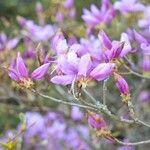 Rhododendron dilatatum