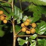 Hyptis obtusiflora