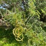 Vachellia karroo 葉
