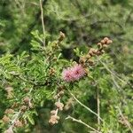 Mimosa monancistra
