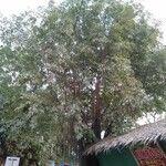 Ficus caulocarpa