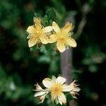 Hypericum ellipticum