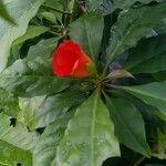 Pereskia bleo Flower