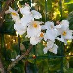 Begonia minor