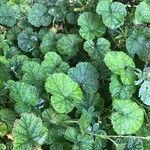 Rubus pectinellus