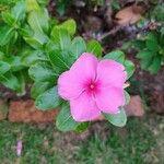 Catharanthus roseus Virág