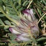 Astragalus nevadensis