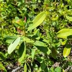 Kalmia angustifolia 葉