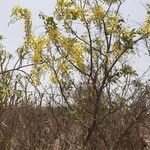 Cassia fistula Flor
