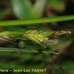 Carex distachya
