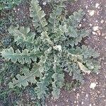Verbascum sinuatum Liść