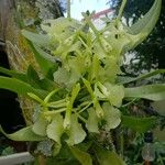 Epidendrum chlorocorymbos