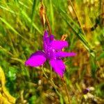 Delphinium orientale