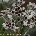 Helichrysum devium