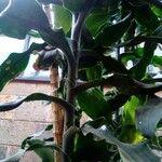 Dracaena fragrans Leaf