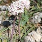 Valeriana tuberosa Fleur