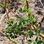 Acacia mellifera