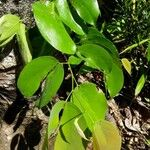 Hymenaea courbaril Feuille
