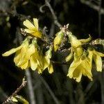 Forsythia japonica
