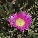Carpobrotus edulis Flor
