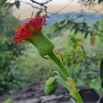 Kleinia abyssinica