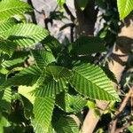 Carpinus betulus Leaf