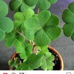 Oxalis corniculata Leaf