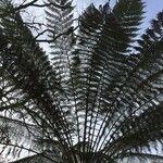 Dicksoniaceae