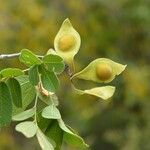 Lonchocarpus phlebophyllus