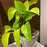 Philodendron hederaceum  var kirkbridei