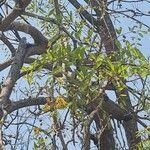 Cassia abbreviata Leaf