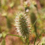 Trifolium angustifolium Fleur