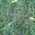 Cynodon dactylon Leaf