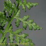 Cystopteris alpina