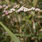 Fleischmannia pycnocephala