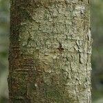 Ormosia paraensis