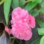 Begonia cucullata cv. 'Doublet Rose Pink'