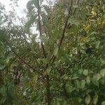 Prunus domestica Liść