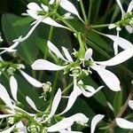 Chamaesyce hypericifolia