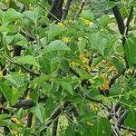 Commiphora baluensis