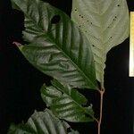 Salacia multiflora