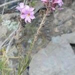 Campylanthus