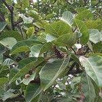 Ficus lutea Feuille