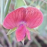 Lathyrus cicera