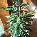 Plerandra elegantissima Pokrój