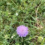 Lomelosia rutifolia
