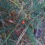 Asparagus maritimus